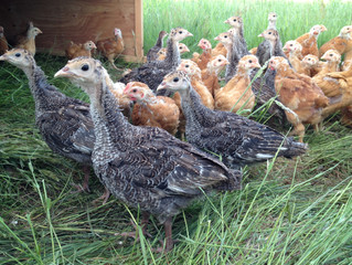 Something New to Try - Heritage Chickens