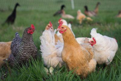 Chicken (deposit)