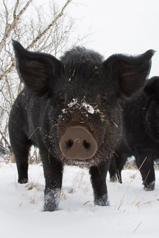 American Mulefoot Heritage Hog in Snow