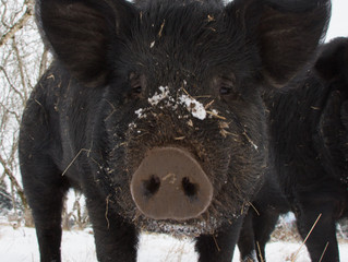 Hogs Enjoy the Snow