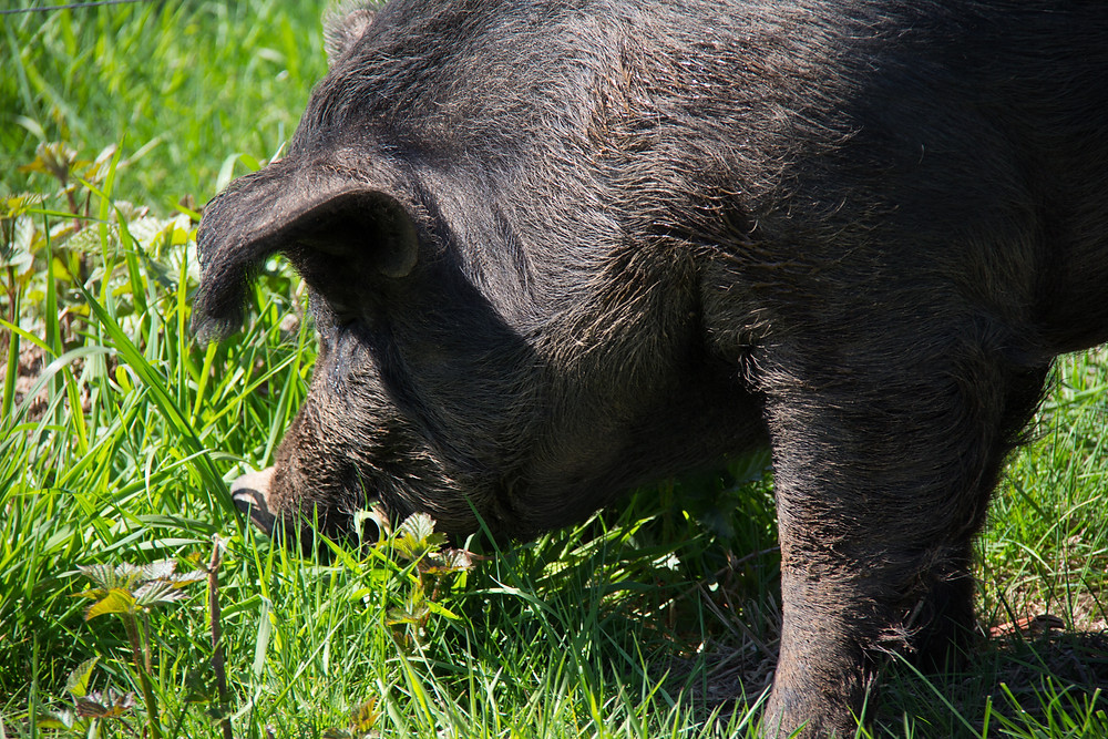 Heritage Hog Grazing