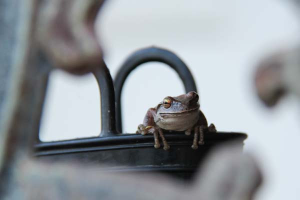 Frog guarding his boot