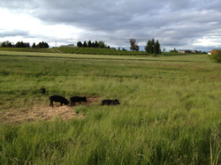 Heritage Hogs on Pasture