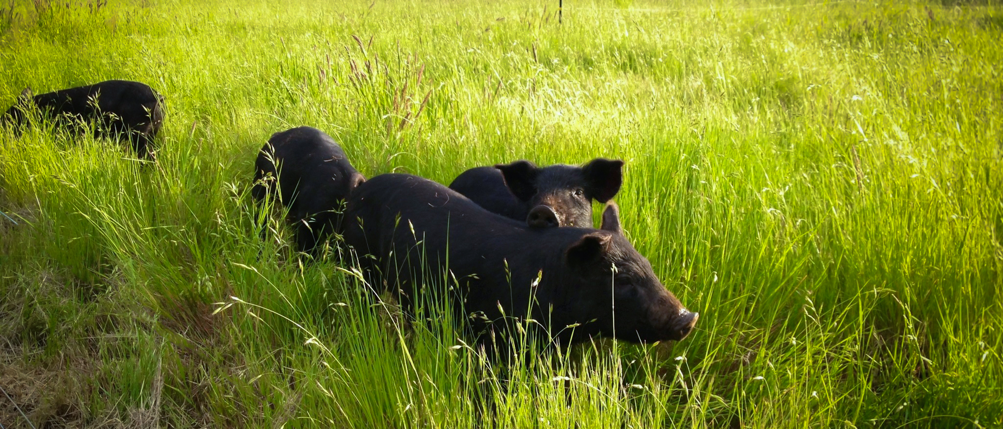 Heritage Hogs on Pasture