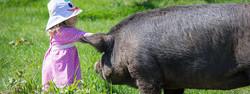 Heritage Hog Getting a Head Scratch