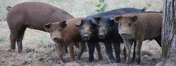 Hogs in a Row