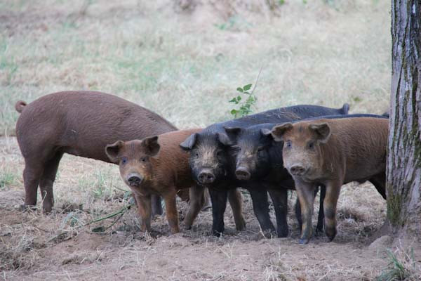 Heritage hogs in a row