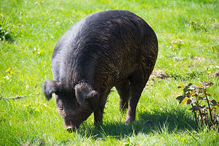 Pasture Raised Heritage Hogs