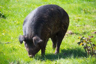 Heritage Hog (deposit for half hog)