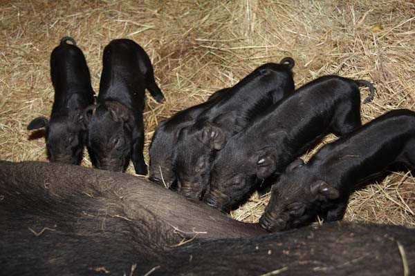 Baby American Mulefoot Heritage Hogs