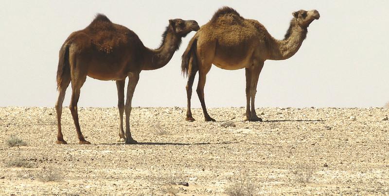 Dromedarios en el desierto de Sahara Occidental