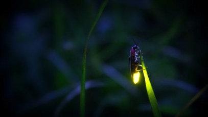 Firefly  - Gaby Czarnik