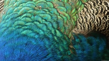Peacock-Feathers-I-926.jpg