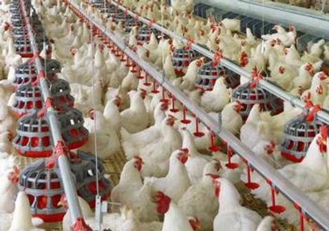 choretime poultry.jpg