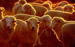 Sheep muster, Banks Peninsula
