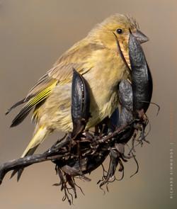 European greenfinch (female)