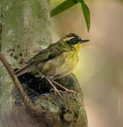 Yellow throated scrubwren