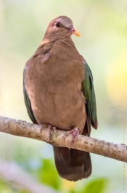 Pacific emerald-dove