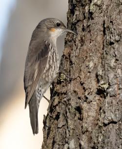 White throated treecreeper