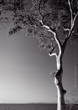 Gum tree - Noosa