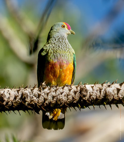 Rose crowned fruit dove