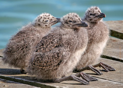 Kelp gull chicks
