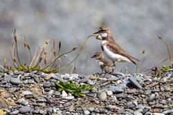 Banded dotterel with chick