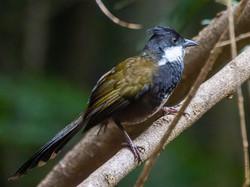 Eastern whipbird