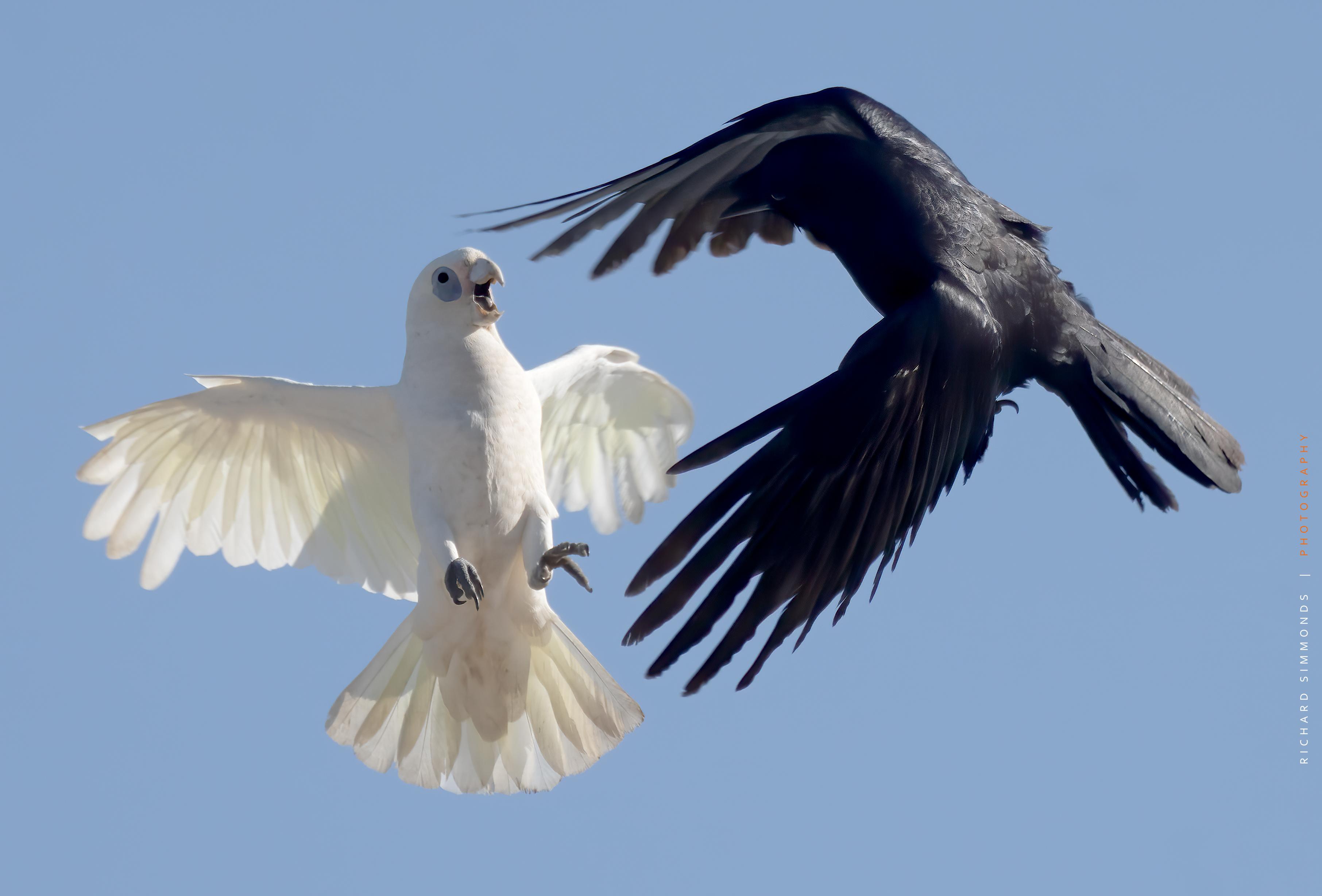 Little corella v crow