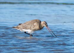 Bar tailed godwit