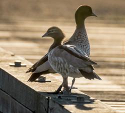 Australian wood ducks DSC02552-Edit
