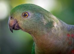 King parrot (female)