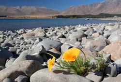 Autumn flower, Lake Tekapo