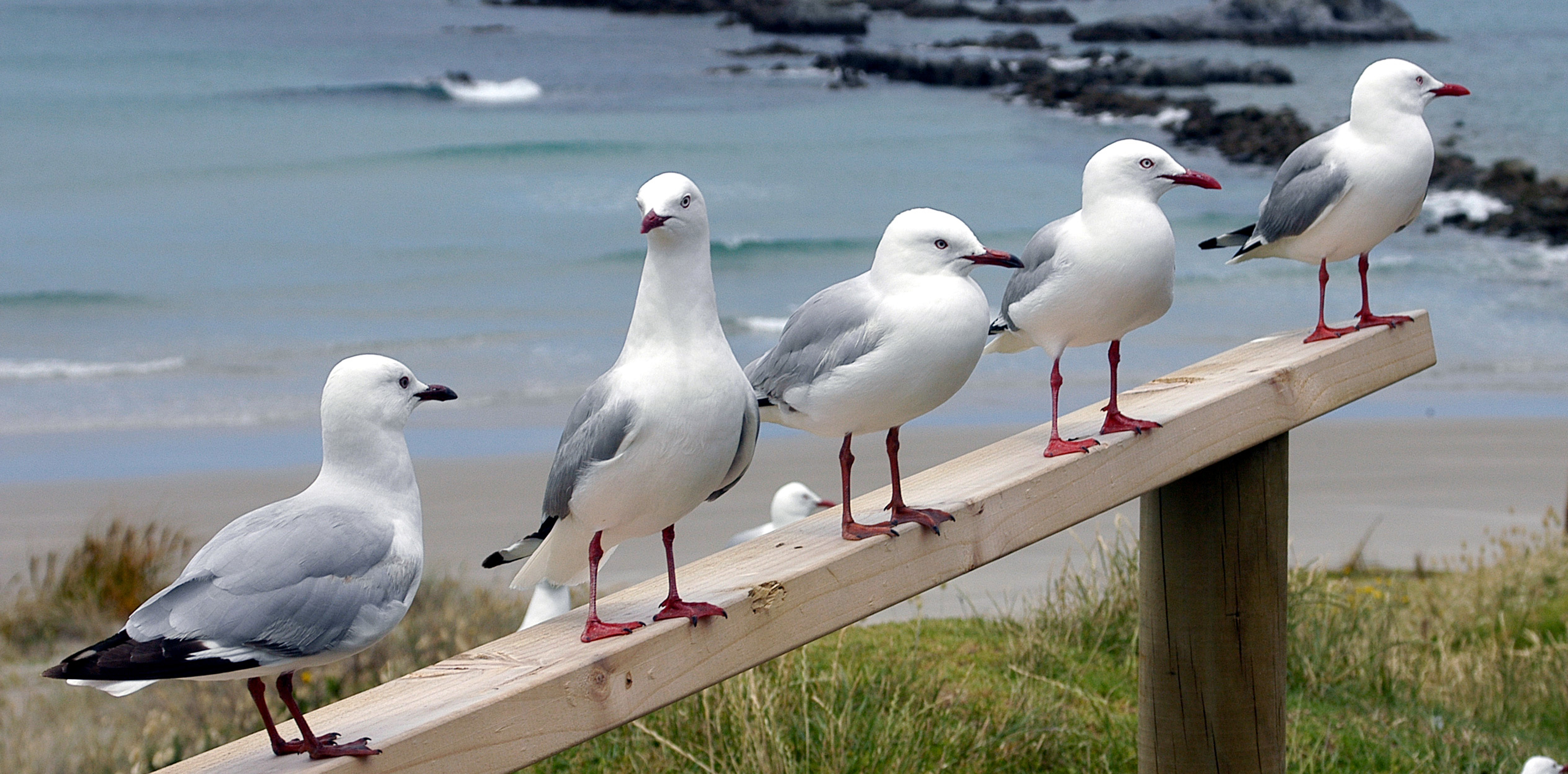 Red footed Seagulls