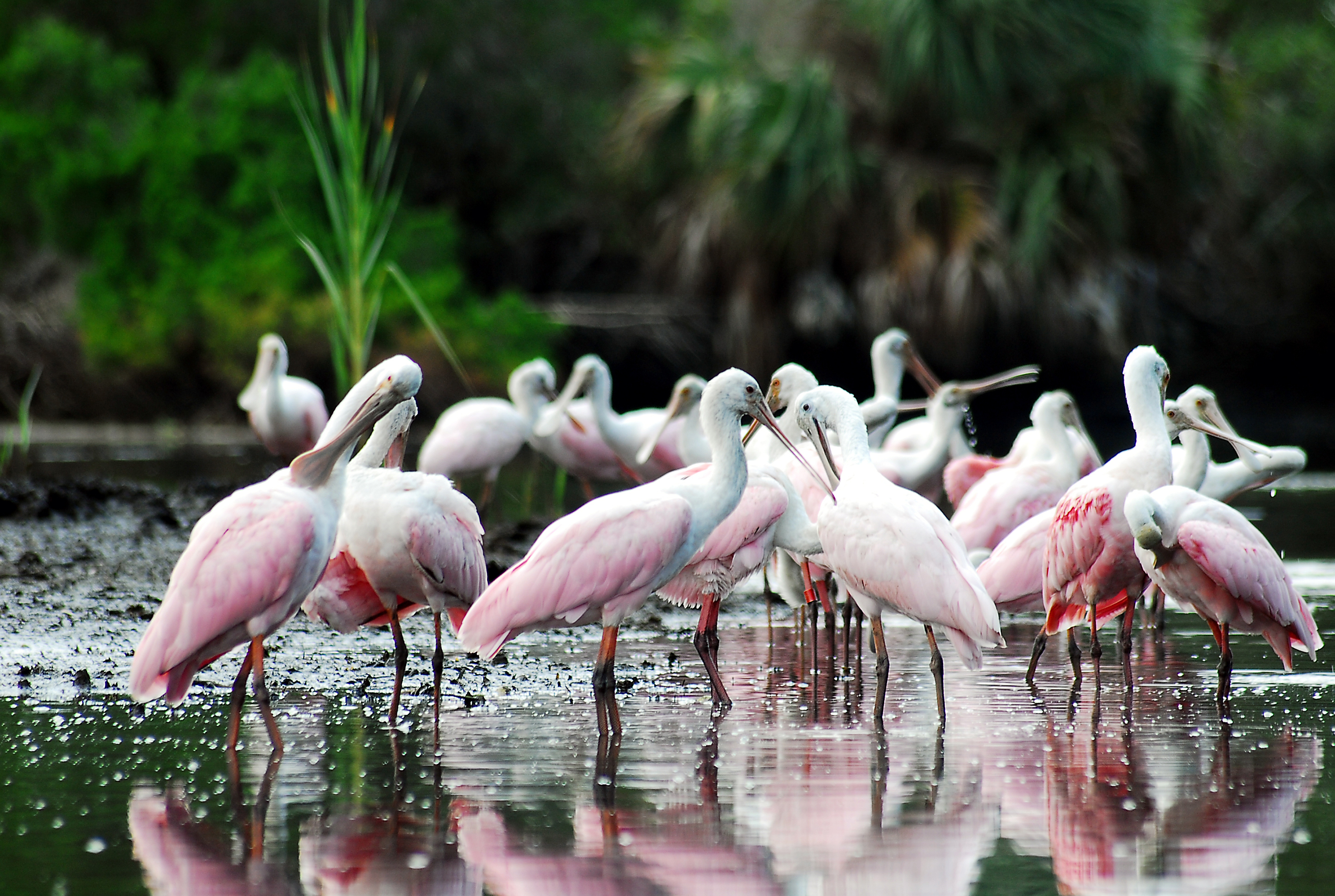 Spoonbill group