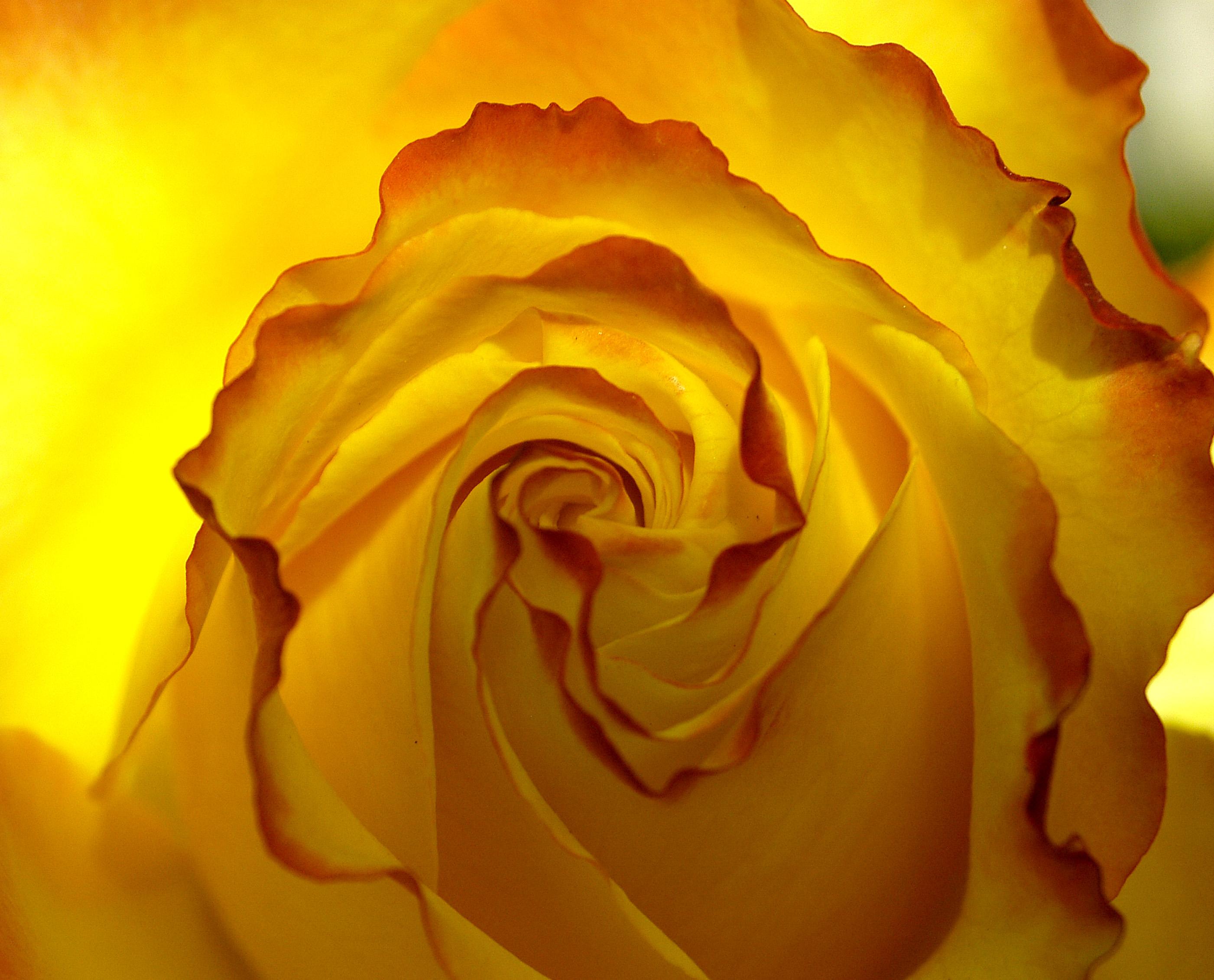 New Zealand Rose