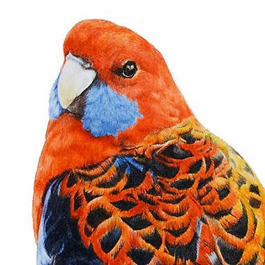 Crimson Rosella parrot eclectus parrot galah parrots fine art australian wildlife bird painting
