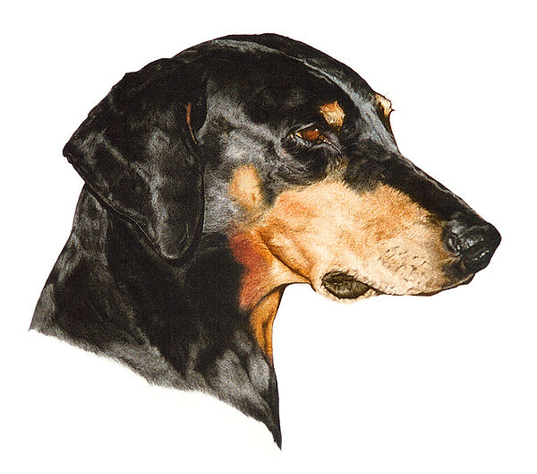 Doberman fine art dog painting