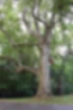 big tree oak-969755_1920.jpg