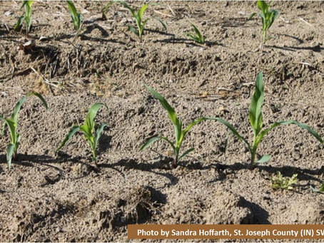 Cover Crops in Prevented Planting