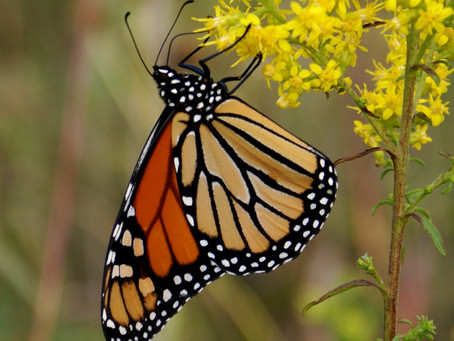 NRCS Launches New Conservation Effort to Aid Monarch Butterflies