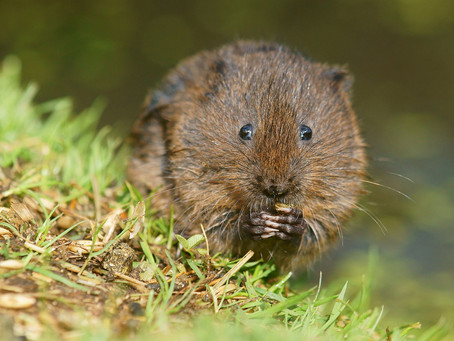 Purdue Vole and Cover Crops Project