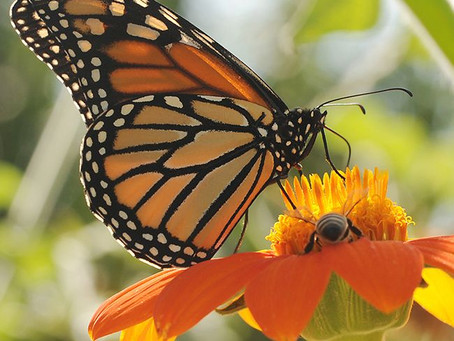 Indiana NRCS Accepting Applications for Monarch Butterfly Habitat Development Project