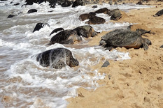 The Honu's on Ho'okipa Beach
