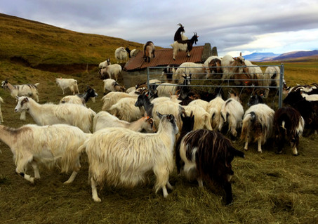 goat farm 2.jpg