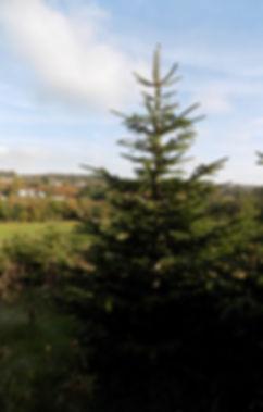 Forest of Dean Christmas Trees, Nordmann Fir, Christmas Tree, Christmas Trees Forest of Dean, Gloucestershire
