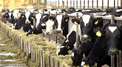 dairy feed