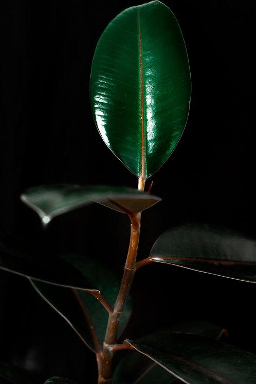 Ficus elastica on black