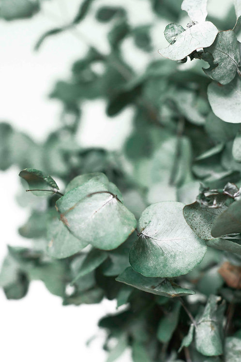 Eucalyptus study #2