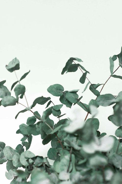 Eucalyptus study #3